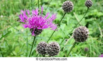 Meadow knapweed - Centaurea jacea - Meadow knapweed in a...