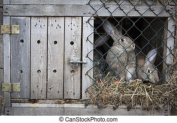 Rabbits in a hutch - Rabbits in a wooden hutch