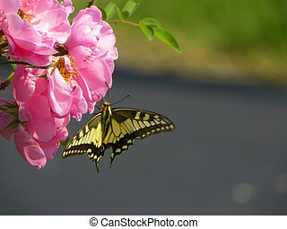 Yellow butterfly on roses