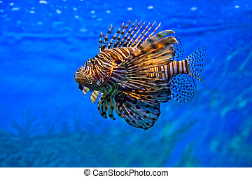 Leão, peixe, natação, sob, água
