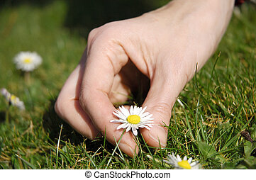 daisy picking - young female hand picking daisy...