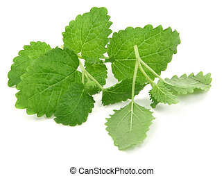fresh lemon balm on white, natural shadow underneath