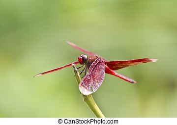 red dragonfly - macro shot of a red dragonfly stay on branch...