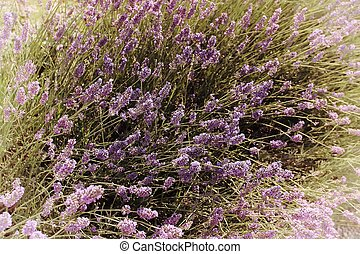 Lavender Flowers  - Lavenders closeup with blur background