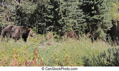Brown Bear Walks Down To The Water - A large brown bear...