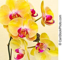 púrpura, blanco, amarillo, orquídea