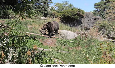 Brown Bear Goes For A Walk - A large brown bear goes for a...