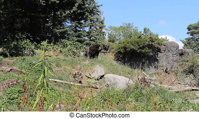 Two Large Brown Bears Hanging Out - Two large brown bears...