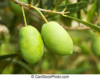 Olive fruit tree