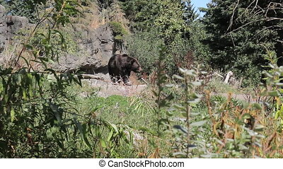 Large Brown Bear Pacing - A large brown bear paces back and...