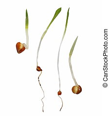 macro millet seed germination