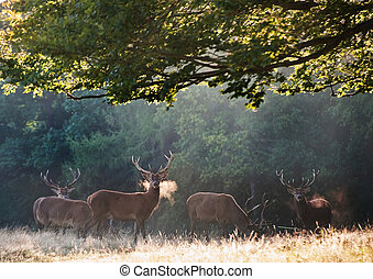 Red deer stags on cold morning in mistty foggy landscape -...