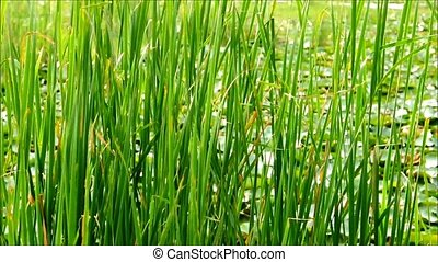 Green Grass Swaying In The Wind