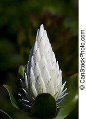 White king protea flower - The white king protea plant...