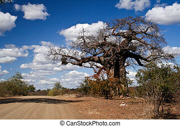 Baobab at Kruger National Park, South Afrika - An old baobab...