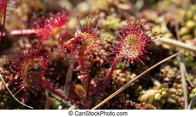 Round-leaved sundew - fly - Round-leaved sundew - Macro of...