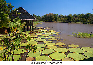 Giant lillies in the Amazonas, Colombia - Giant lillies,...