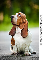 Basset hound looks up - Dog Basset hound sitting and looks...