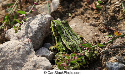 Frog Pond - Pelophylax esculentus - Frog Pond between stones...