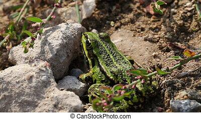 Frog Pond - Pelophylax esculentus - Frog Pond between stones...
