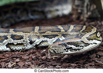 Indian python - details of an Indian python or Python...