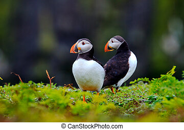 Two Puffins - Photo of a pair of atlantic puffins Fratercula...