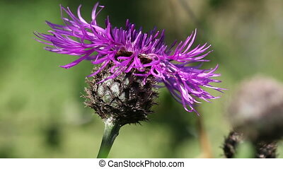 Meadow knapweed - Centaurea jacea - Meadow knapweed in a...