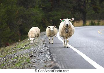 ovelhas, estrada