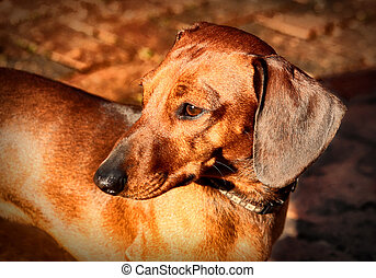 Miniature Dachshund Soft Focused Look - Picture of a...