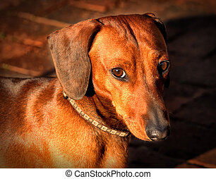 Miniature Dachshund Soft Questioning Look - Picture of a...