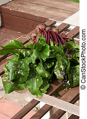 Home grown Beetroot freshly pulled out of the ground
