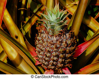 close up of pinapple on farm