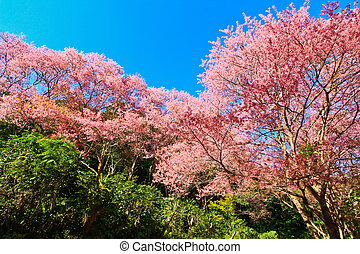 sakura blooming in winter, North of Thailand