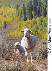 White Faced Sheep in Mountains