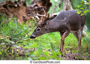 White-tailed deer buck - A large white-tailed deer buck...