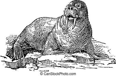 Walrus or Odobenus rosmarus, vintage engraving - Walrus or...