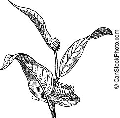 Napoleonaea or Napoleonaea sp, vintage engraving -...