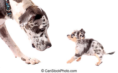 Great Dane and chihuahua dogs - Great Dane and a little...