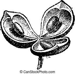 Valves, vintage engraving - Valves, in Botany, vintage...
