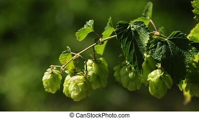 hop - ripe hop for brewery