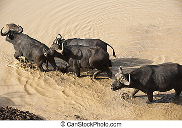 African buffalo safari in Kenya