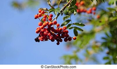 Rowan berries - a bush with red ripe rowan berries