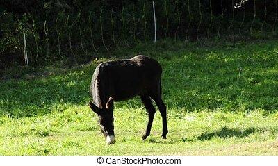 donkey - grazing black donkey