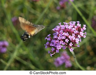 hummingbird moth in fly