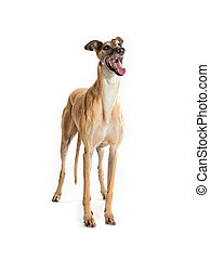 barking greyhound