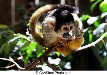común, mono tití, (Callithrix, jacchus,...