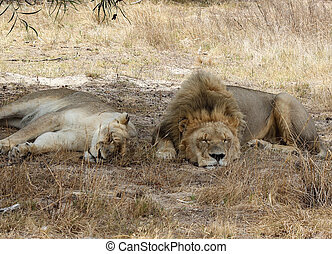 Two Lions at the cape town lion park in south africa