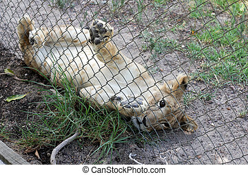 Baby lion lying on floor