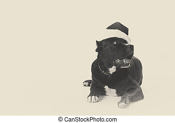 black pit bull with santa hut