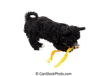 black puppy biting a ribbon